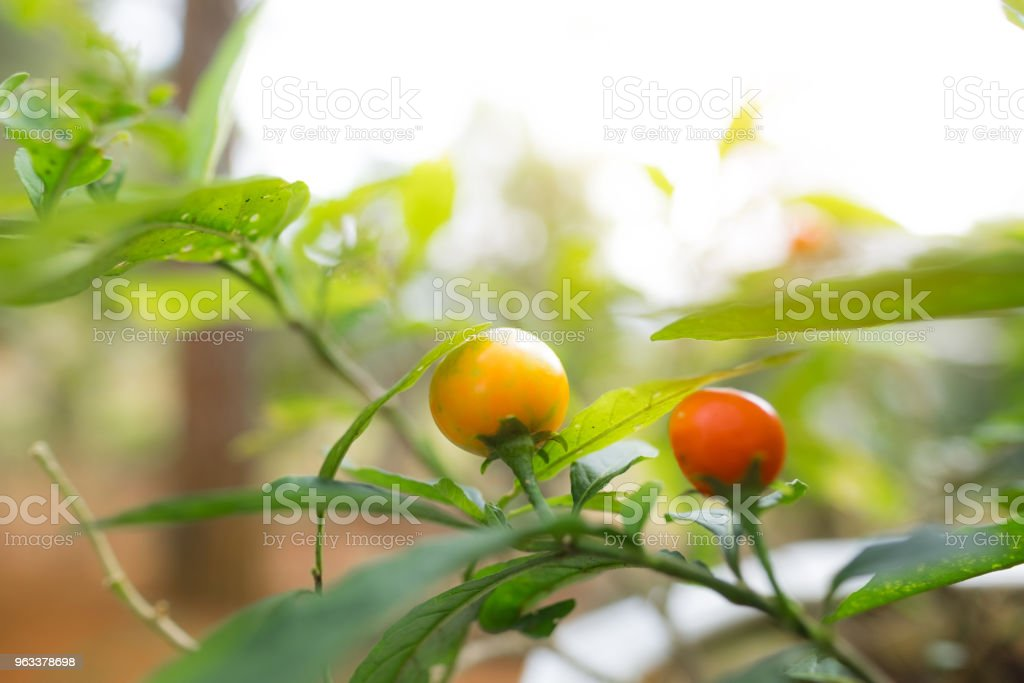Range Kumquat on the tree. Bunch of ripe oranges hanging on a tree. Marumi kumquat is symbol for wealth and happiness for Vietnamese lunar new year - Zbiór zdjęć royalty-free (Czerwony)