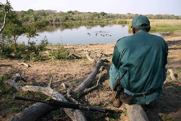 Ranger checking out a group of hippo's Ranger checking out a group of hippo's  park ranger stock pictures, royalty-free photos & images