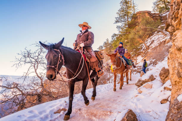Ranger leads mule ride adventure tour in Grand Canyon Arizona USA Ranger leads a group of tourists on a mule ride adventure tour on the Bright Angel Trail in Grand Canyon National Park, South Rim, Arizona, USA. park ranger stock pictures, royalty-free photos & images