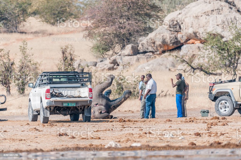 Rangers investigating cause of death of an elephant in Etosha stock photo