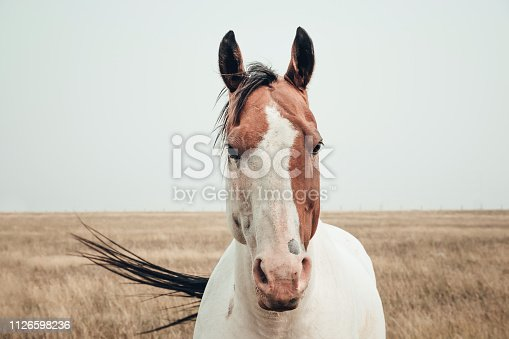 Beautiful horse in a field in south Alberta near Fort Macleod.