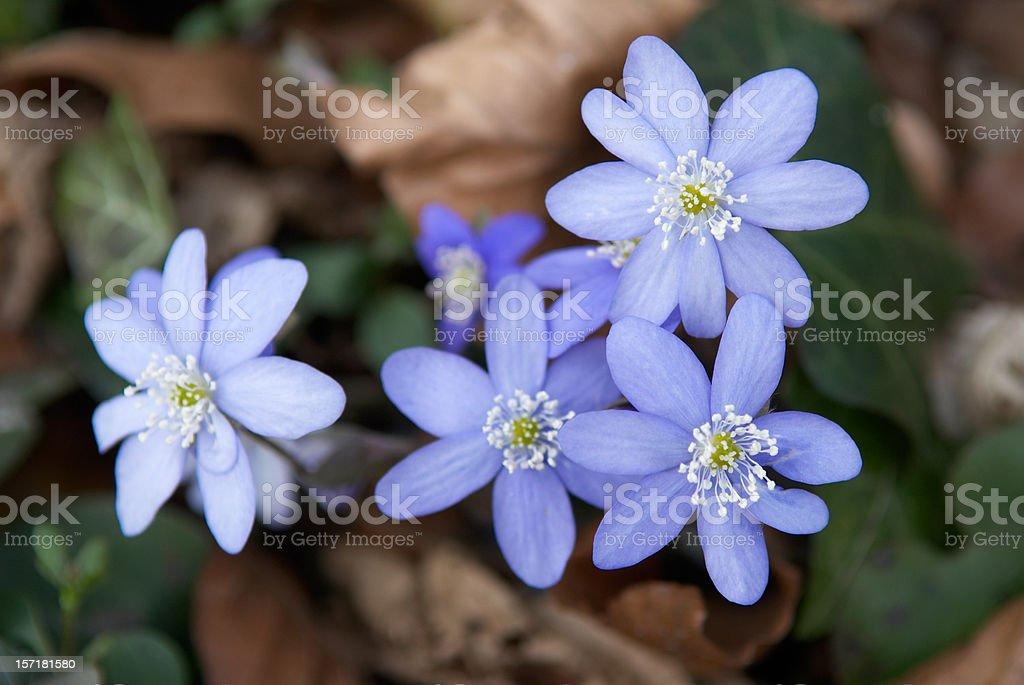 Ranunculaceae stock photo