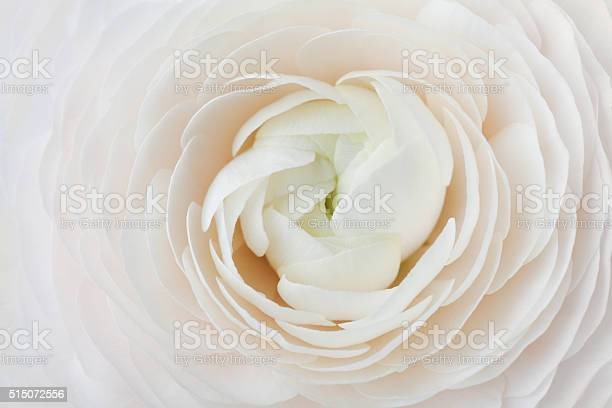 Ranunculus abstract background spring flower wedding floral pattern picture id515072556?b=1&k=6&m=515072556&s=612x612&h=6amkltzl2zghqrxu3m1e1dq3ada  sc8ejmtnzljcj8=