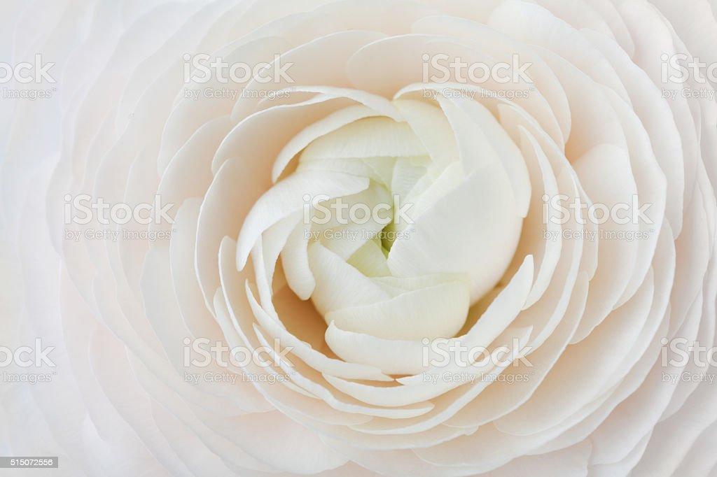 Ranunkel Abstrakter Hintergrund, Frühling Blumen Hochzeit Blumenmuster, Makro – Foto