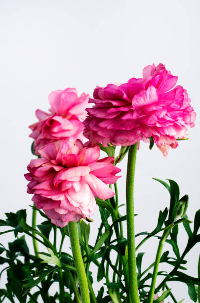 Ranunculus against a white background. stock photo