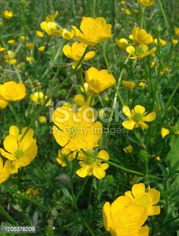 Ranunculus bulbosus in bloom