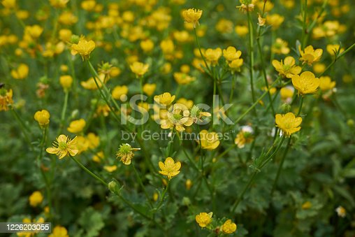 Ranunculus bulbosus close up