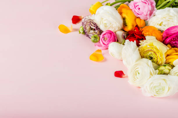 ranunculus hahnenfuß blumen in verschiedenen farben - hochzeitsspiele eltern stock-fotos und bilder
