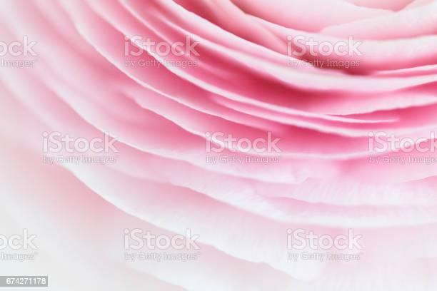 Ranunculus closeup picture id674271178?b=1&k=6&m=674271178&s=612x612&h=ncui7mysm2hqom4ry 50nshe3lq1fcal4bpyztv7wry=
