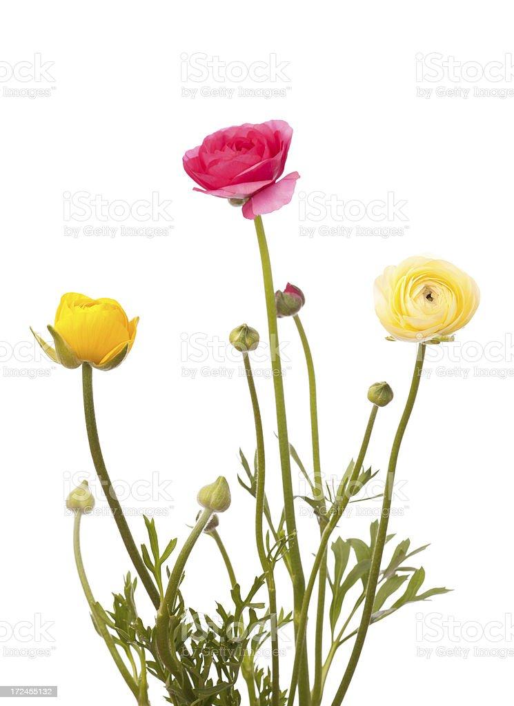 Ranunculus flowers on white background royalty-free stock photo