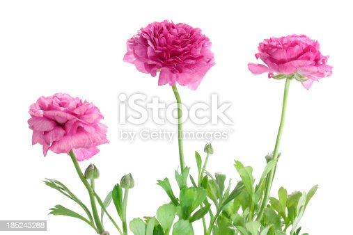 three ranunculus or buttercup flowers on white