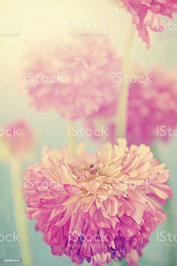 Ranunkel-Blumen Lizenzfreies stock-foto