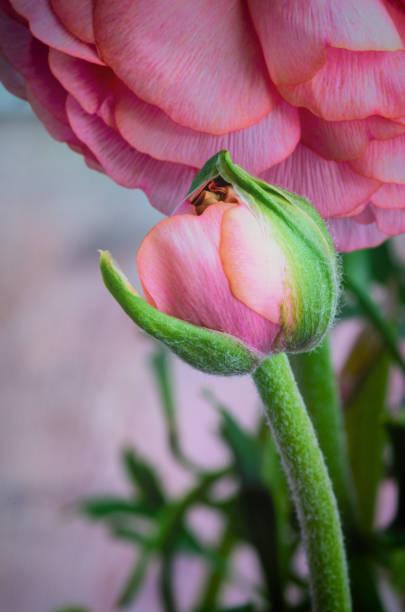 Ranunculus in bud stock photo