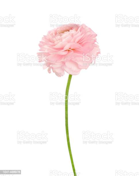 Ranunculus of light coral color isolated on white background picture id1041468978?b=1&k=6&m=1041468978&s=612x612&h=5vti6pwqldwq nnyfqyqa0lbotj8dmszqycurivqm68=
