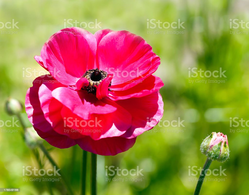 Ranunculus royalty-free stock photo
