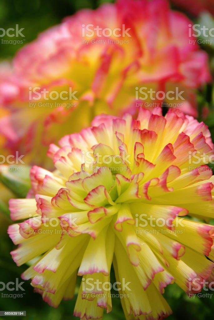 Ranunculus foto stock royalty-free