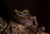 Raorchestes Cholorosomma Aka Green eyed Bush Frog, Munnar, Kerala, India