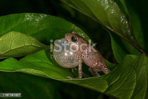 Raorchestes griet bush frog calling seen at Munnar,Kerala,India