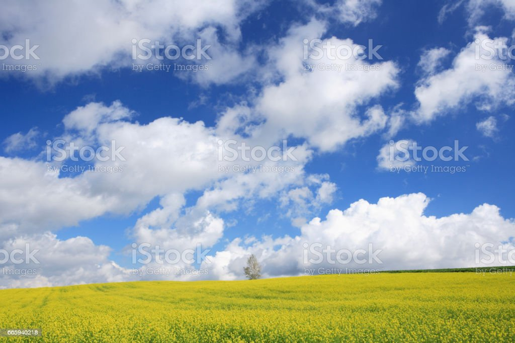 Rape blossom field and clouds foto stock royalty-free