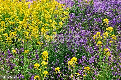 istock Rape blossoms and Murasaki Hanana (Orychophragmus violaceus) 1311050701