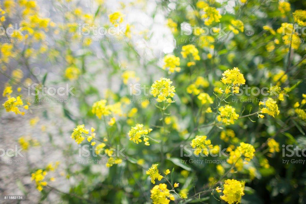 日本の菜の花。 ストックフォト