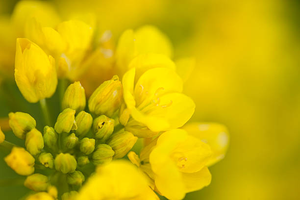 Rape Blossoms  canola stock pictures, royalty-free photos & images