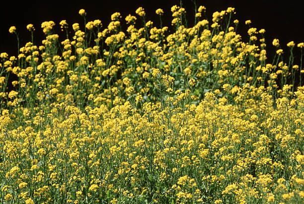 菜種の花 ストックフォト