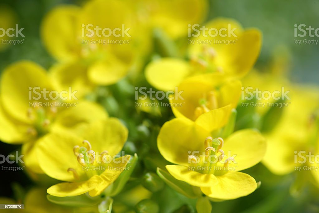 Rape Blossoms royalty-free stock photo