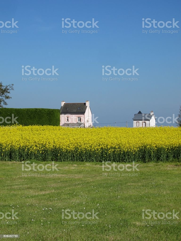 rape field and houses stock photo