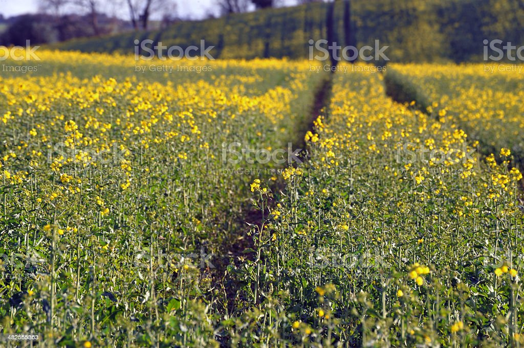 Rape Field Closeup royalty-free stock photo