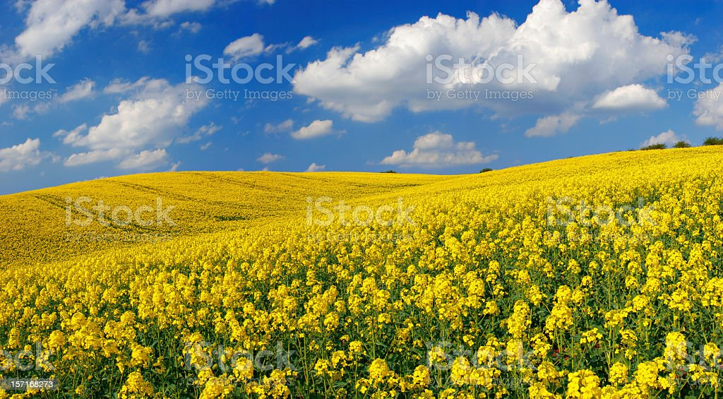 Rape Field II stock photo