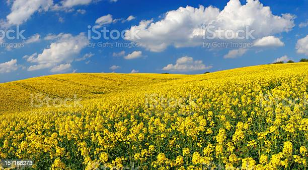 Rapsfeld Stockfoto und mehr Bilder von Anhöhe