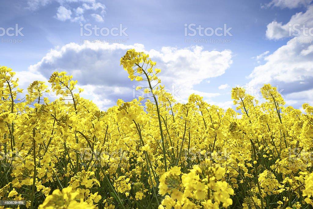 Rape Field In Bloom stock photo