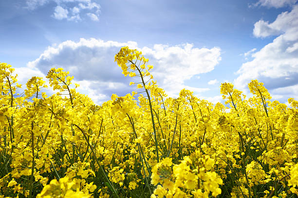 Rape Field In Bloom Close up of rape flowers field canola stock pictures, royalty-free photos & images