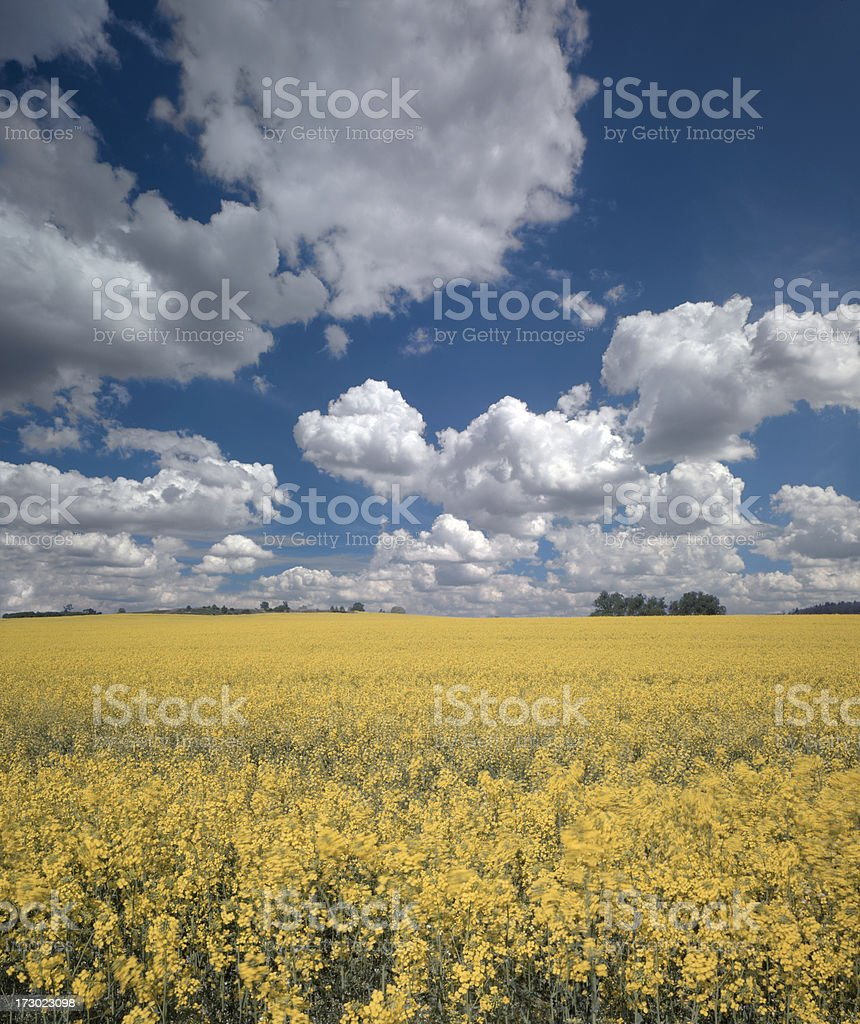 Rape field stock photo