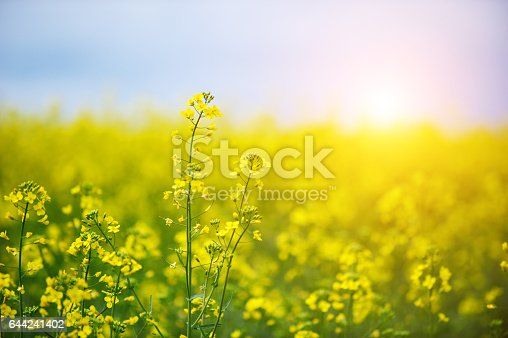 Close-up picture of a oilseed rape field