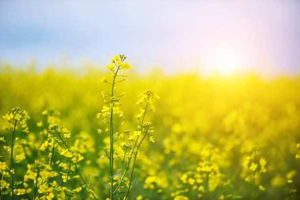 rape field Close-up picture of a oilseed rape field canola stock pictures, royalty-free photos & images