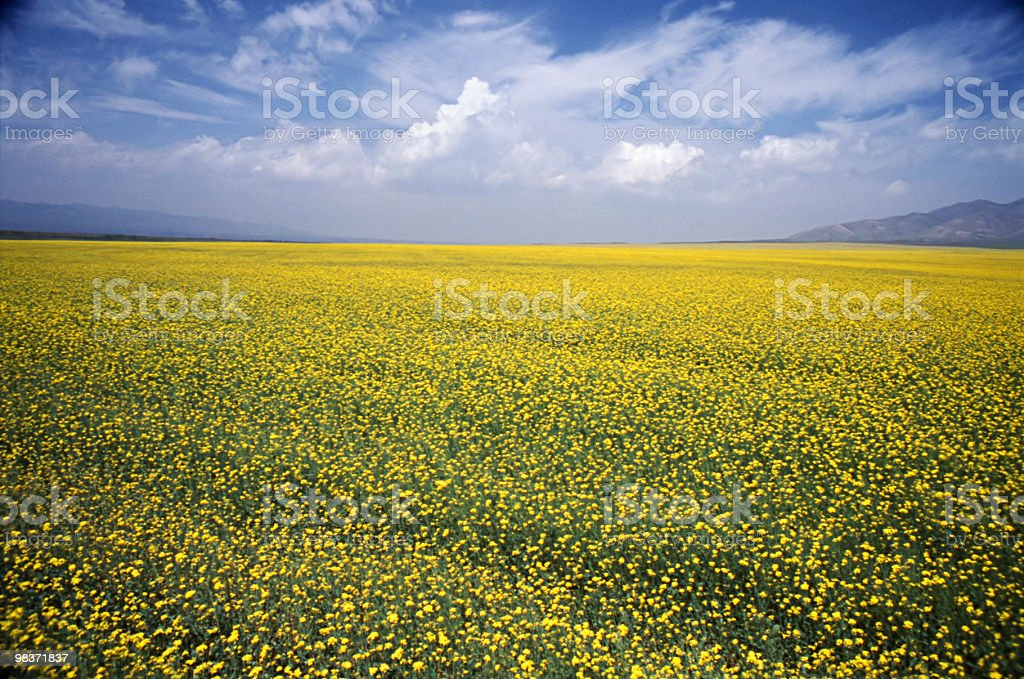 rape field royalty-free stock photo