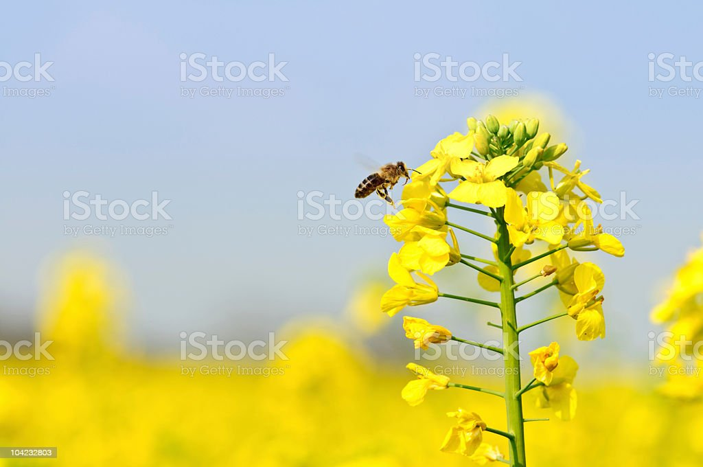 Rape flower and flying honey bee stock photo