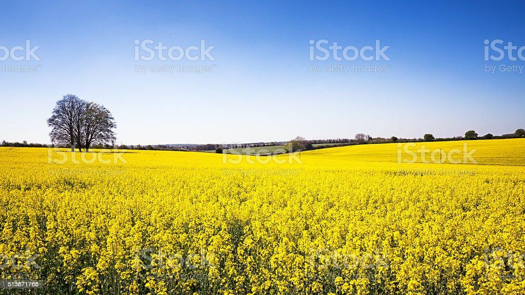 Rape flower meadow panorama stock photo