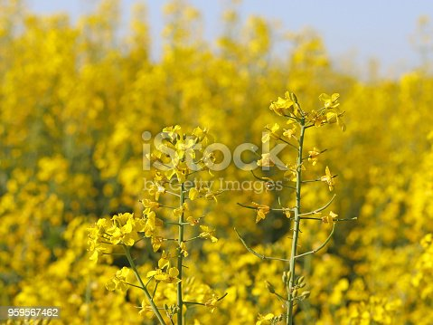 istock A rape flower on a blurred background of a rapeseed field. Plantation of an oil plant. Production of biofuel. The agrarian business. 959567462