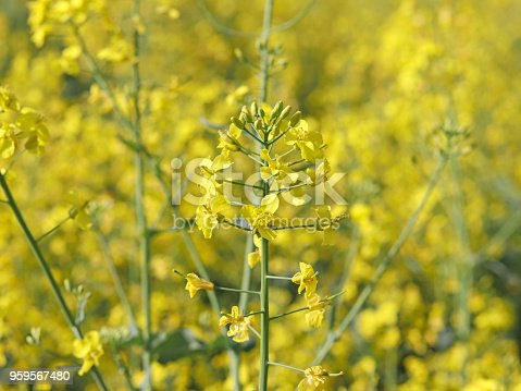 istock A rape flower on a blurred background of a rapeseed field. Plantation of an oil plant. Production of biofuel. The agrarian business. 959567480