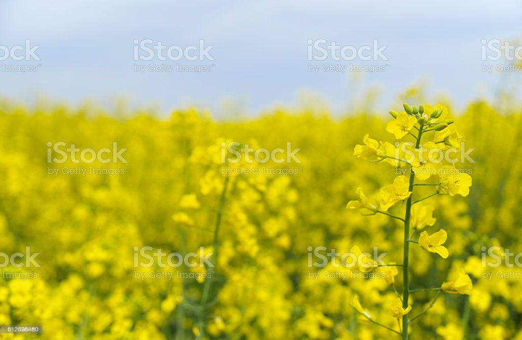 Rape flower stock photo