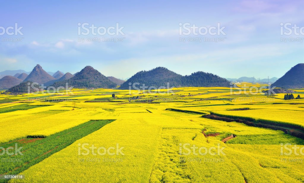 Rape flowers bloom in the spring stock photo