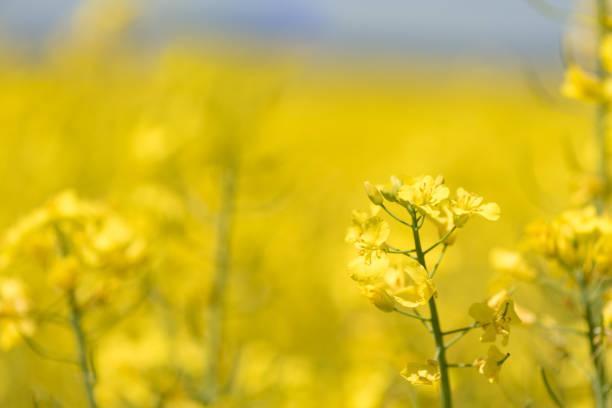 Rapsblumen im Saisonfrühling. Gelbes Feld – Foto