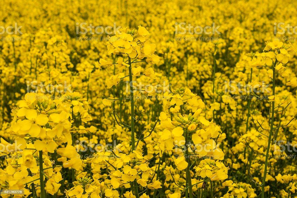 Rape flowers stock photo
