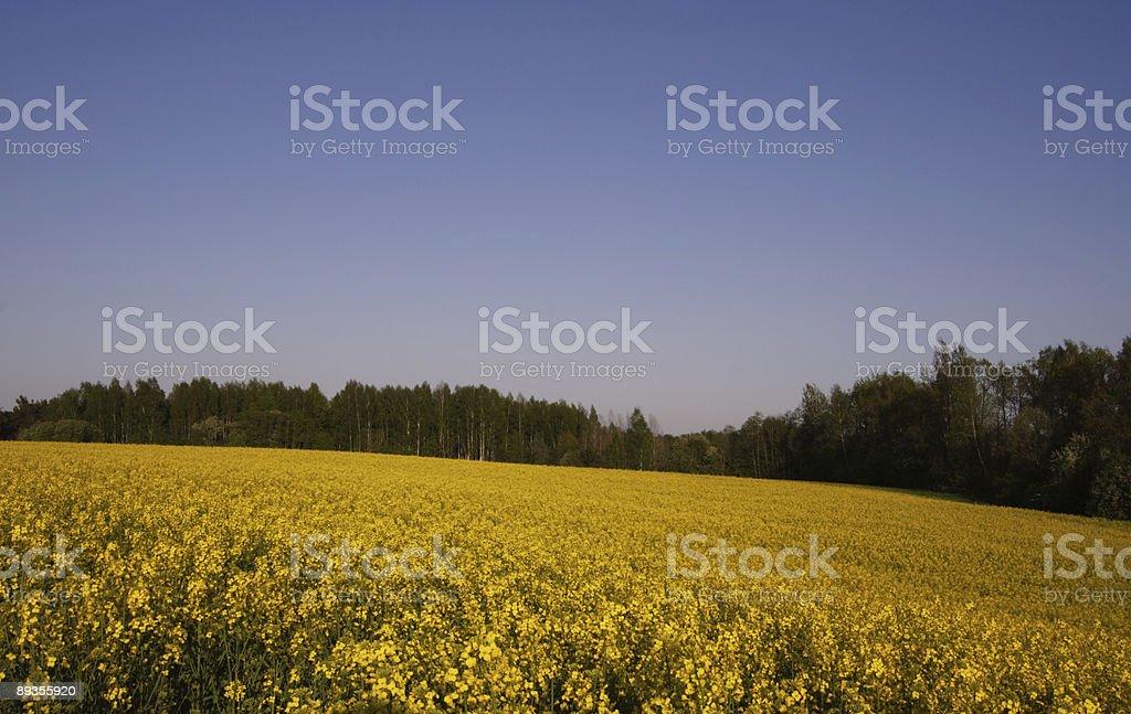 Lo stupro è in piena fioritura. foto stock royalty-free