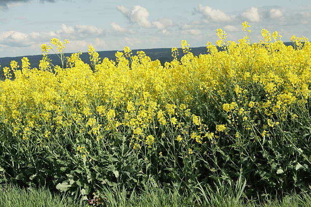 Rape Rape field in Aisne,Picardy region of France aisne stock pictures, royalty-free photos & images