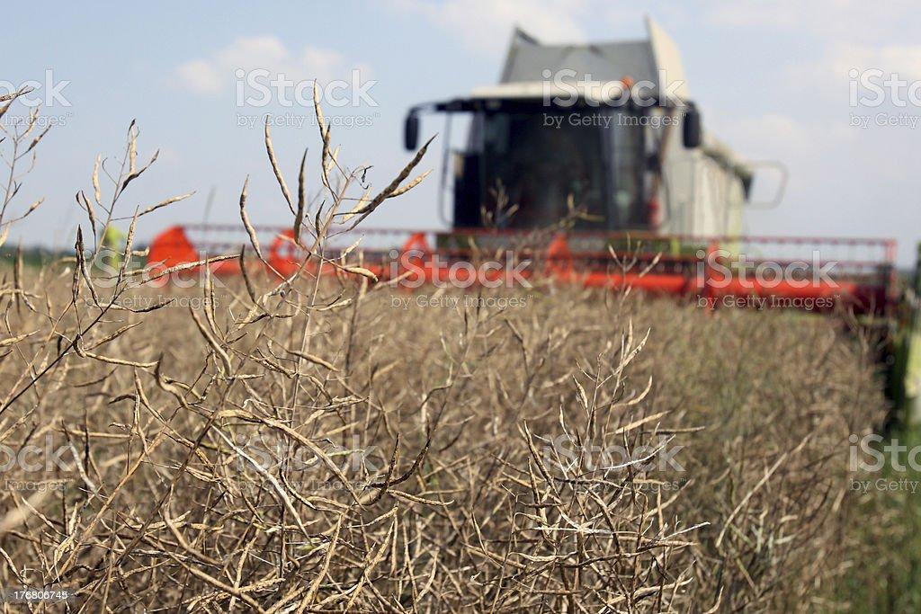 Rape (Brassica napus) royalty-free stock photo
