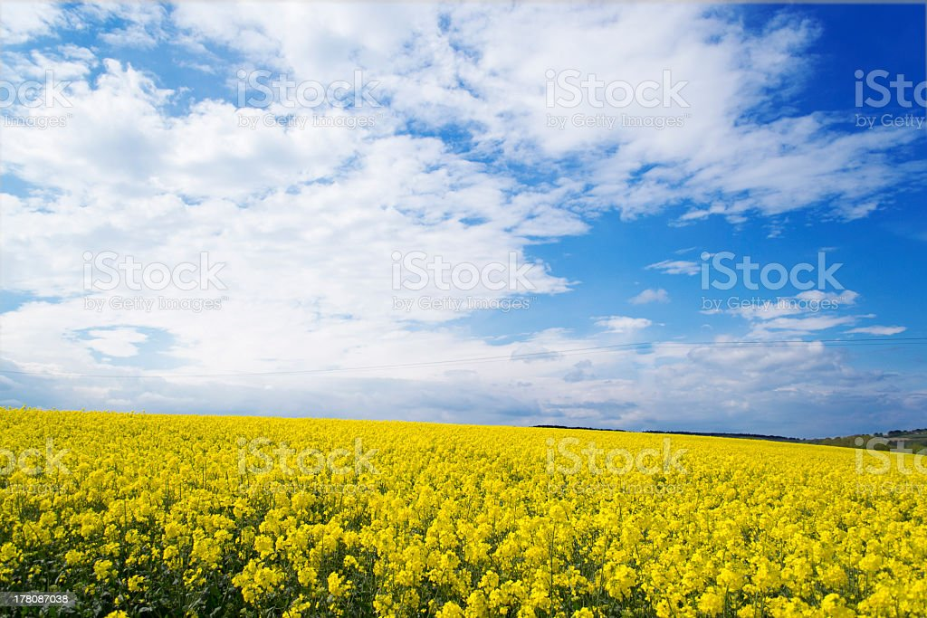 Rape seed crop stock photo